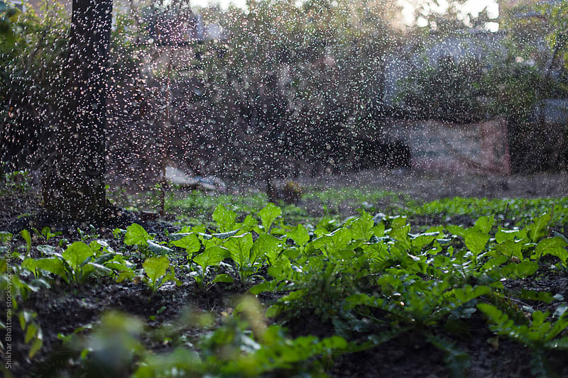 Watering a kitchen garden in the backyard. by Shikhar Bhattarai for Stocksy United
