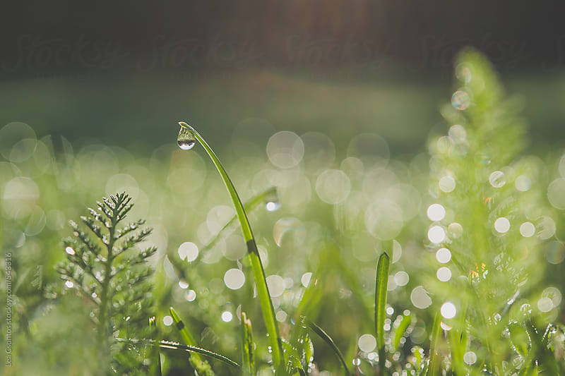 Field of fresh green grass and weeds in the morning with dewdrops by Lea Csontos for Stocksy United