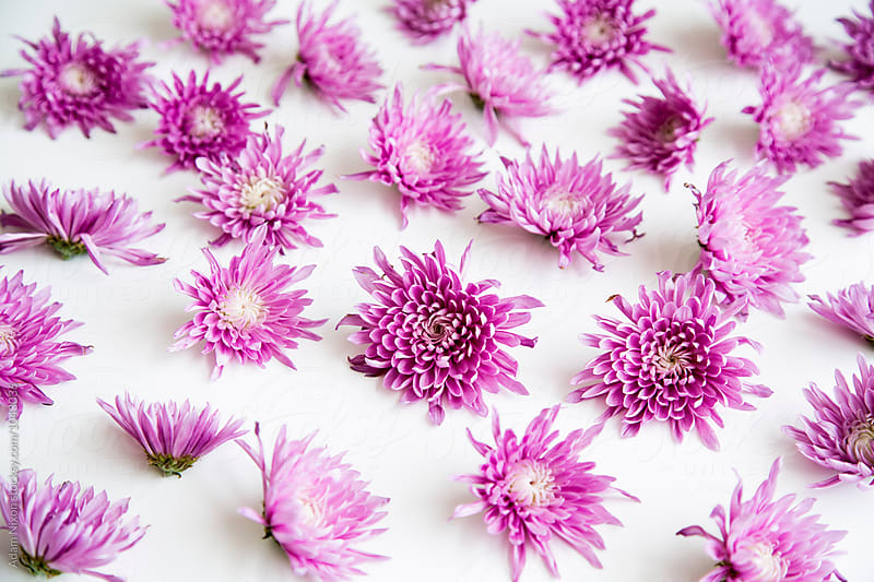 Purple daisies on a white background by Adam Nixon for Stocksy United
