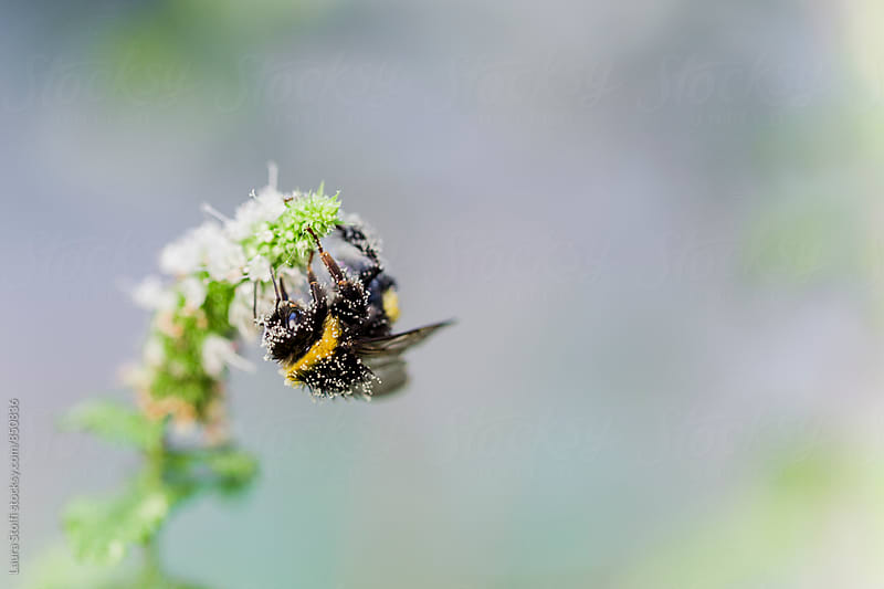 Macro catch of covered in pollen bumblebee with  lot of empty space by Laura Stolfi for Stocksy United