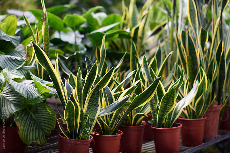 Many snake plant in pot by Lawren Lu for Stocksy United