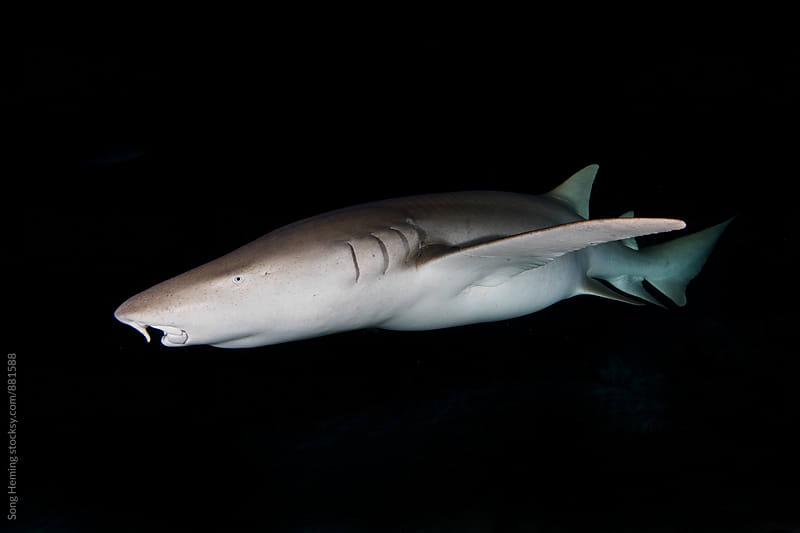 nurse shark by Song Heming for Stocksy United