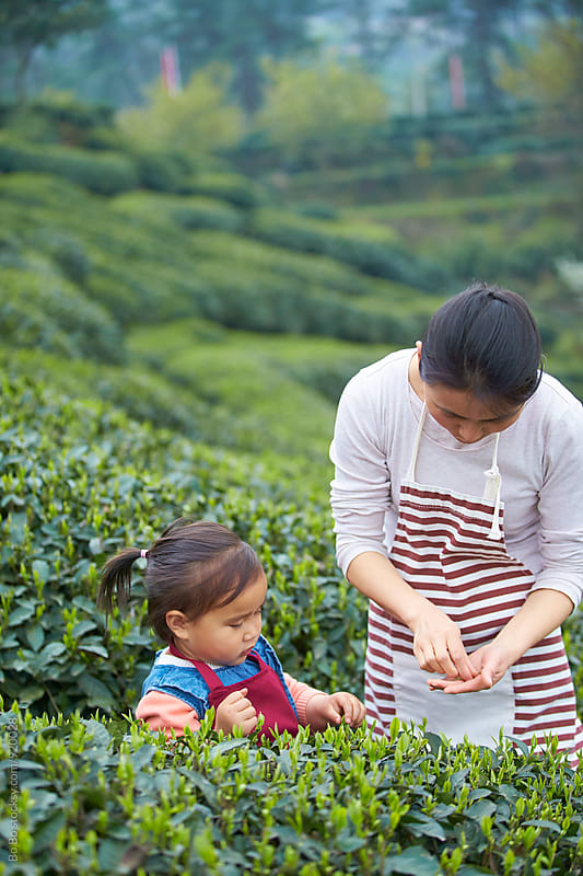 little asian girl picking tea in the tea farm with her mother by cuiyan Liu for Stocksy United