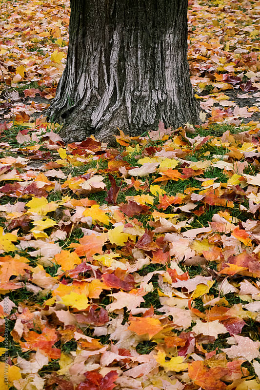 Tree Trunk with Autumn Leaves on Ground by Jeff Wasserman for Stocksy United