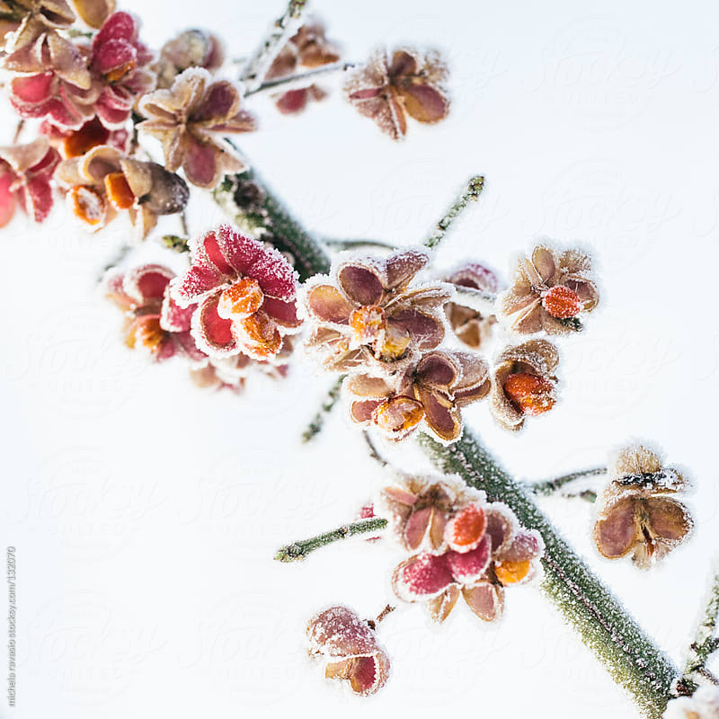 Frozen flowers on a twig by michela ravasio for Stocksy United