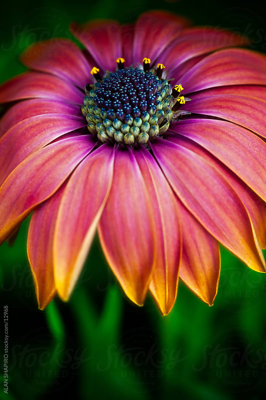 Flower with all the colors of the rainbow by ALAN SHAPIRO for Stocksy United