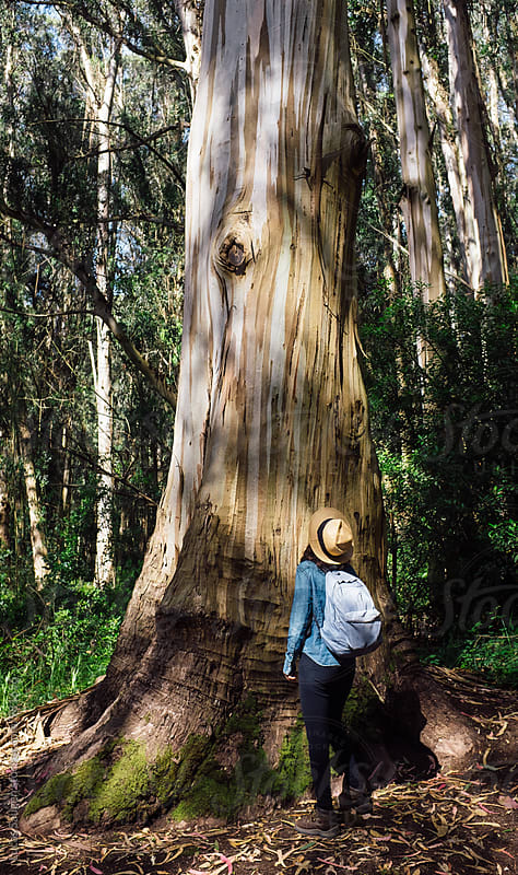 Woman looks up at a very large eucalyptus tree. by Lucas Saugen for Stocksy United