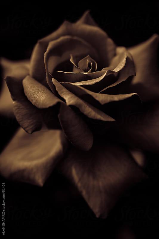 rose in monochrome by ALAN SHAPIRO for Stocksy United