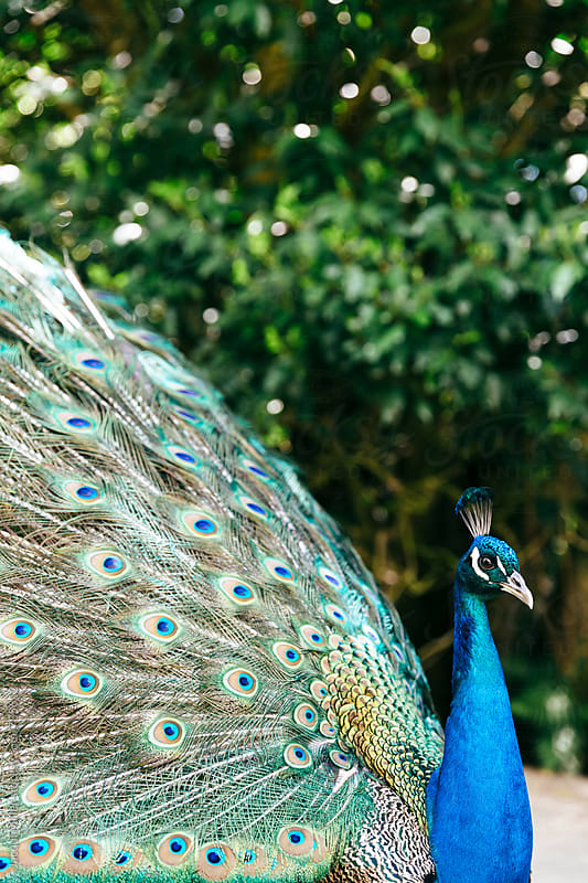 Side view of male peacock with feathers on display - vertical by Jacqui Miller for Stocksy United