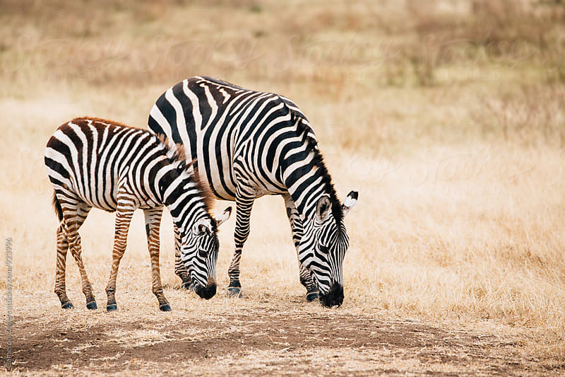 mother and baby zebra in Ngorongoro Crater Conservation Area, Tanzania by Cameron Zegers for Stocksy United