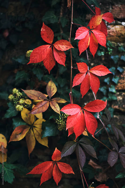Beautiful autumn colors on leaves by Jovana Rikalo for Stocksy United