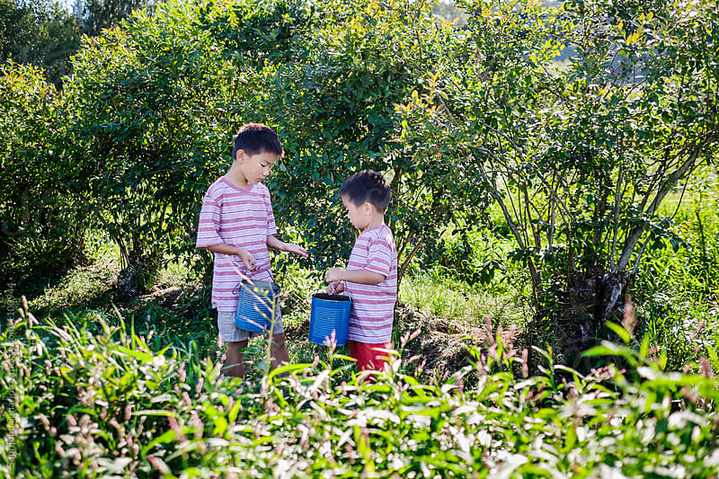 Asian kids picking blueberries at the farm by Suprijono Suharjoto for Stocksy United