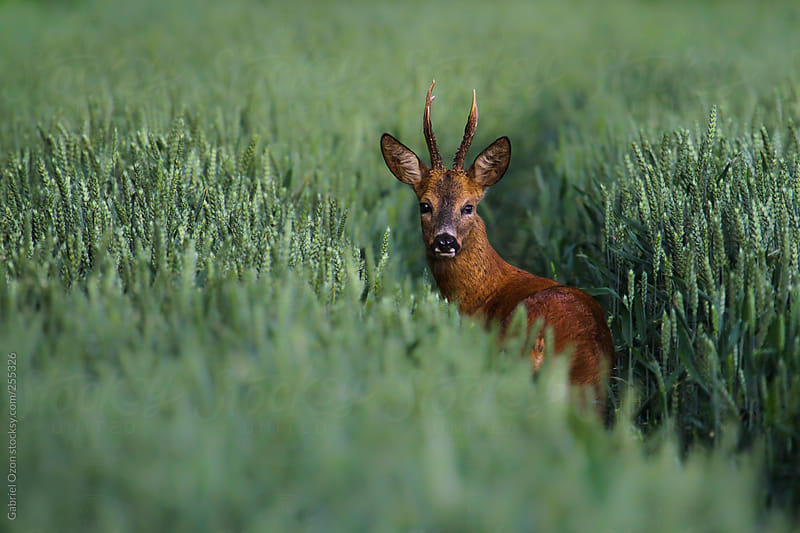 Roebuck in cornfield by Gabriel Ozon for Stocksy United