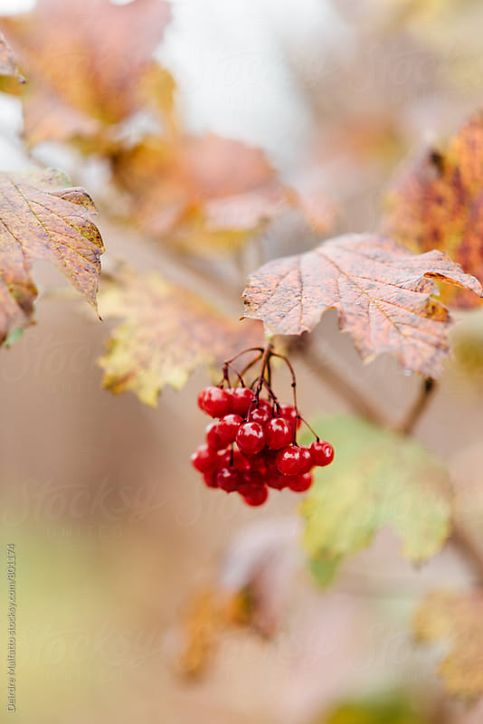 red berries in autumn by Deirdre Malfatto for Stocksy United