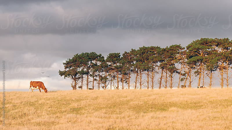 One Brown Cow, Two Birds, Lots of Trees by Gary Radler Photography for Stocksy United