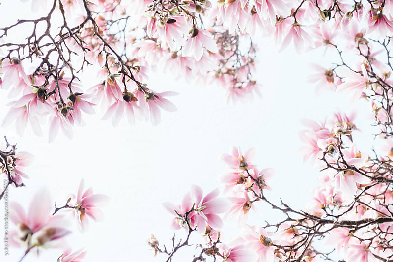 Magnolia blossoms in full bloom, framing the sky by yuko hirao for Stocksy United
