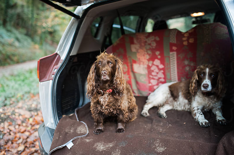two dogs sitting in the boot of a car after going for a walk by Suzi Marshall for Stocksy United