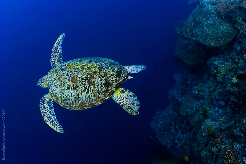 Green Sea turtle swimming swimming in the blue ocean underwater in Malaysia by Soren Egeberg for Stocksy United