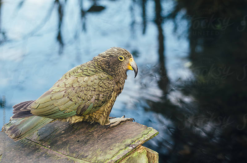 Full body shot of parrot Kea by Dominique Chapman for Stocksy United