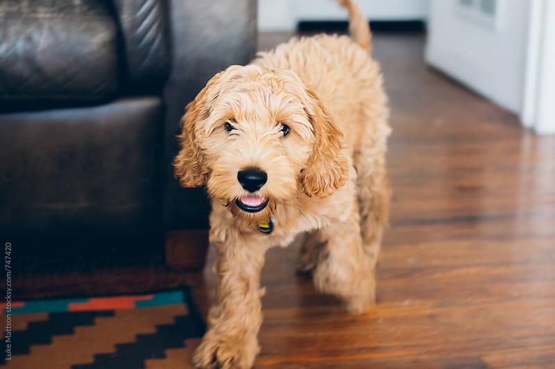 Pet Labradoodle Puppy Walking Across Hardwood Floor In Living Room by Luke Mattson for Stocksy United