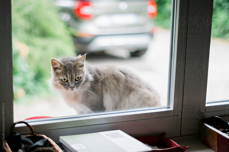 Yellow eyed grey persian cat out of the window by Laura Stolfi for Stocksy United