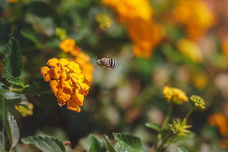 Bee with Yellow Flower by Helen Sotiriadis for Stocksy United