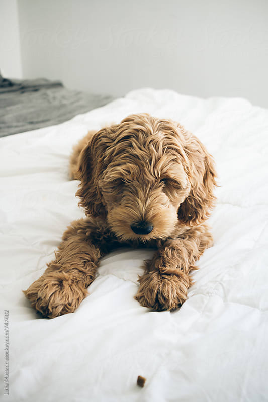 Labradoodle Puppy Lying On Bed Looking At Dog Treat by Luke Mattson for Stocksy United