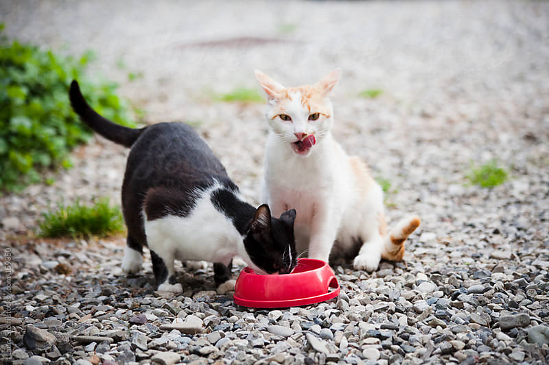 Stray cats eating food outdoor by Laura Stolfi for Stocksy United