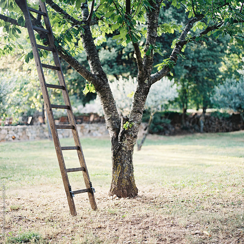 A ladder standing against a tree in a backyard of olive trees in France, Provence by Atle Rønningen for Stocksy United