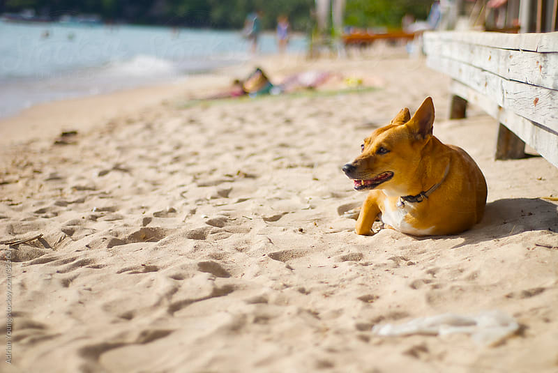 Stray Dog Lying on the Beach by Adrian P Young for Stocksy United