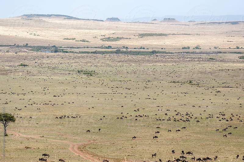 Landscape shot of Masai Mara in Kenya during the great migration by Mike Marlowe for Stocksy United