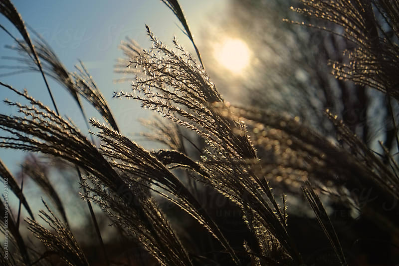 Low winter sun, viewed through grass by Jon Attaway for Stocksy United
