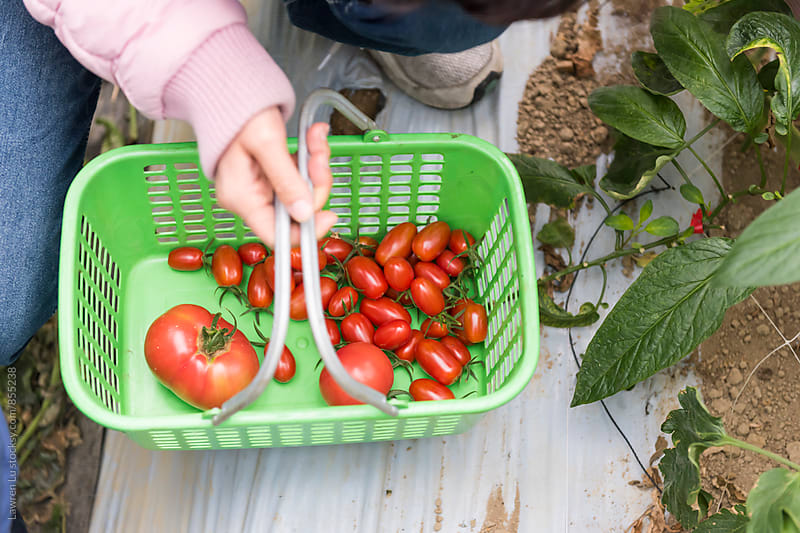 Newly Harvested Small And Large Red Healthy Tomatoes in Green Basket by Lawren Lu for Stocksy United