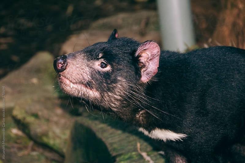 Tasmanian devil by Alejandro Moreno de Carlos for Stocksy United