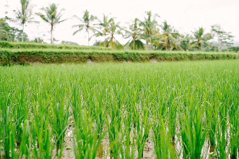 Rice paddy by Sam Burton for Stocksy United