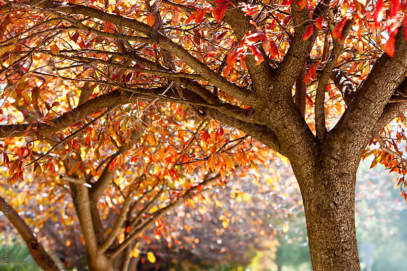 Cherry trees with the warm red and orange of autumn. by Helen Sotiriadis for Stocksy United