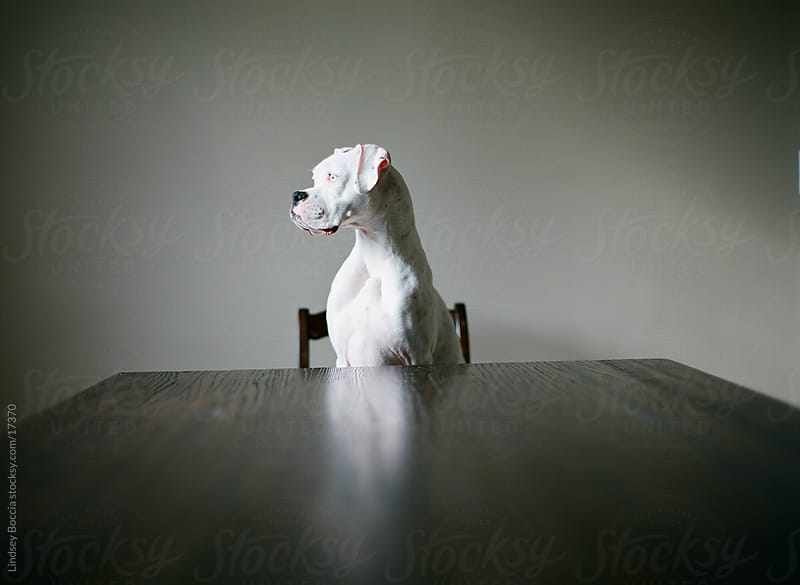 Dog at table by Lindsey Boccia for Stocksy United