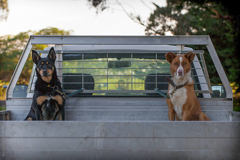 Working Cattle Dogs On Their Way To Work by Rowena Naylor for Stocksy United