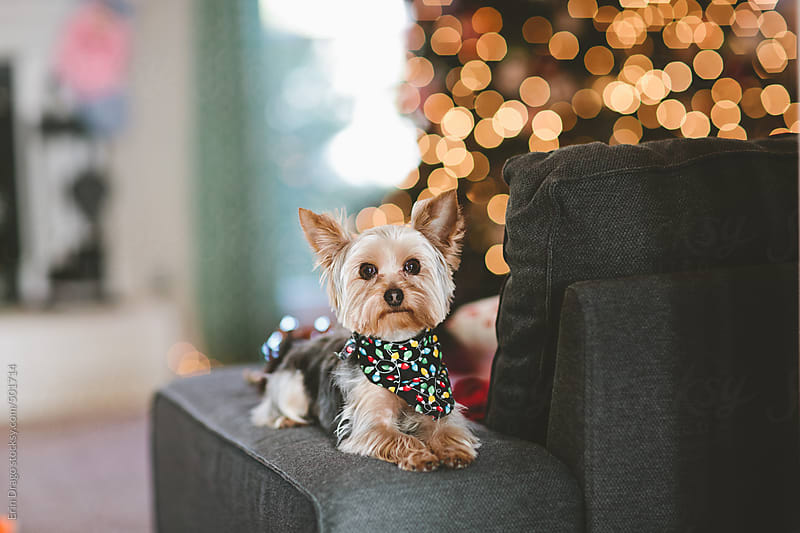 dog looking at camera with Christmas tree in the background by Erin Drago for Stocksy United