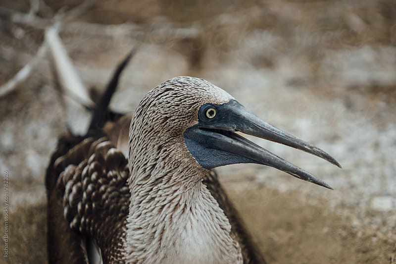 Blue Footed Boobies by Richard Brown for Stocksy United