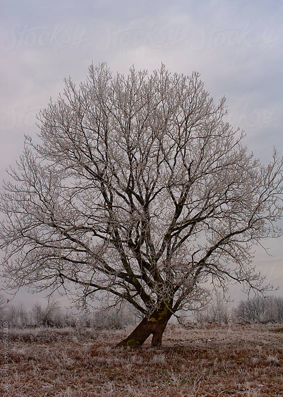 Single tree covered with hoarfrost by Sveta SH for Stocksy United