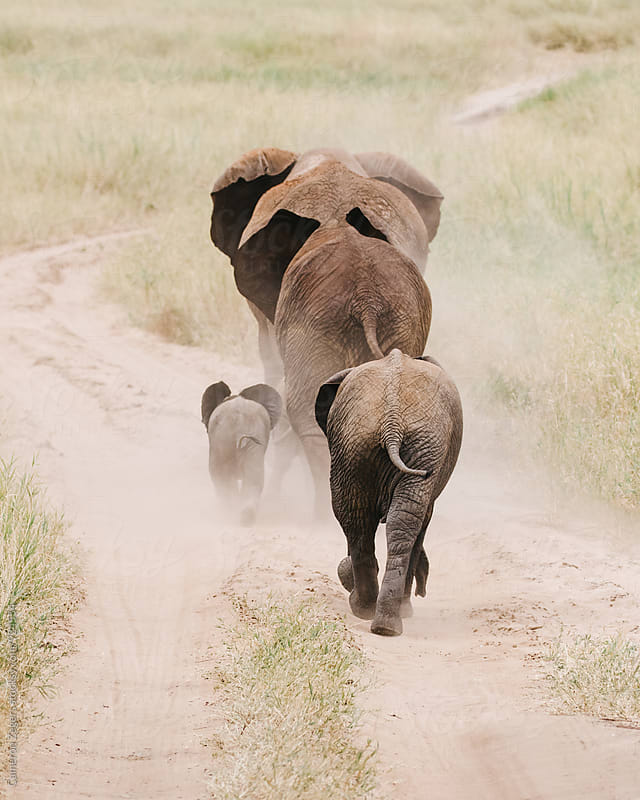 family of elephants walking along a road by Cameron Zegers for Stocksy United
