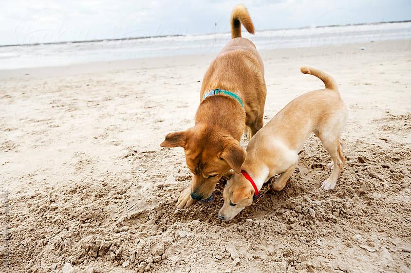 Winter Beach Digging Dogs by Eldad Carin for Stocksy United