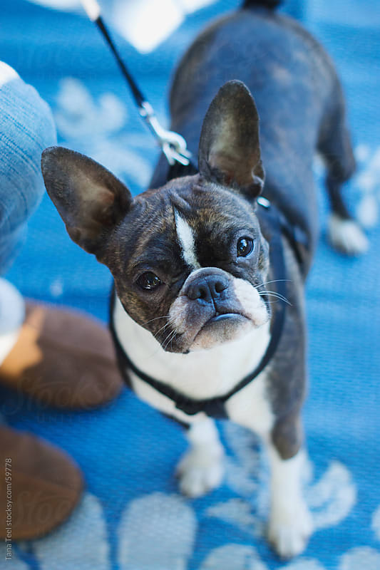 A brindle colored Boston terrier looks up by Tana Teel for Stocksy United