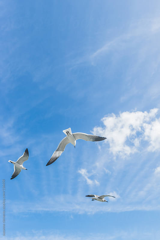 Flock of SeaGulls Fly Together in the Florida Sunshine by suzanne clements for Stocksy United