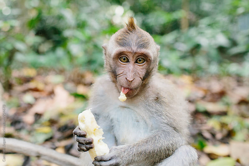 monkey eating banana by Cameron Zegers for Stocksy United