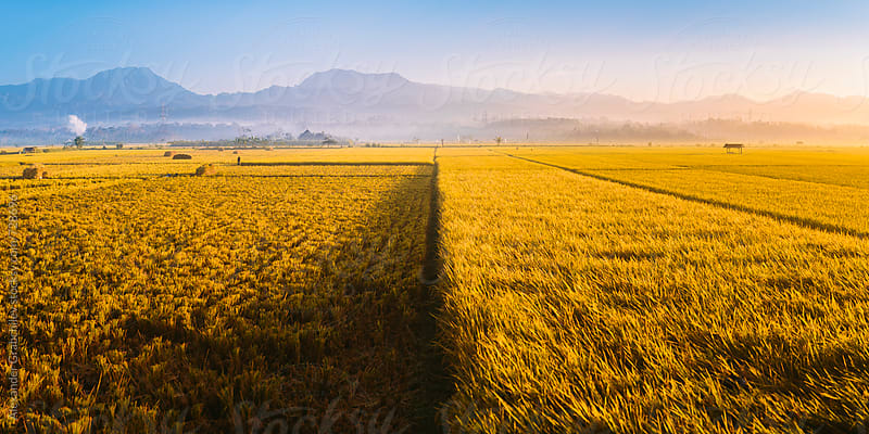Golden Rice Field by Alexander Grabchilev for Stocksy United