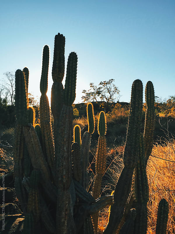 Cactus in Dry Grassland at Sunset by Julien L. Balmer for Stocksy United