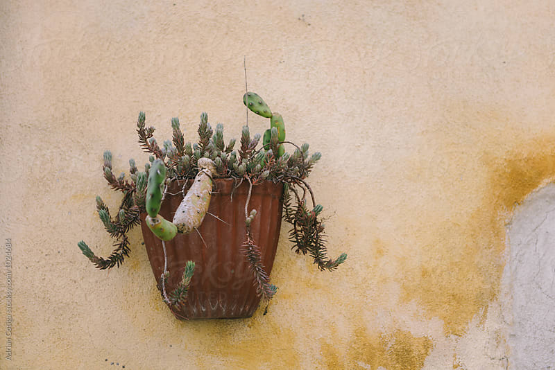 Potted plant on a wall by Adrian Cotiga for Stocksy United