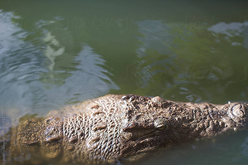 African crocodile swimming in the water by Beatrix Boros for Stocksy United